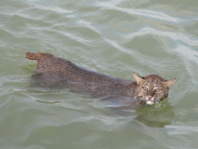 bobcat swimming